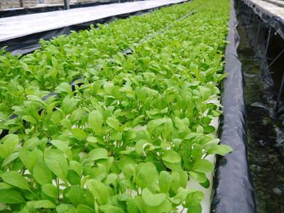 農薬や消毒を一切せずに育ったサラダ用の水耕栽培の生野菜を大好評販売中!_a0254656_17355657.jpg