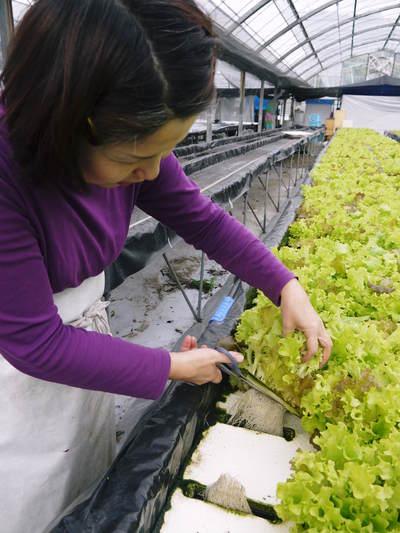農薬や消毒を一切せずに育ったサラダ用の水耕栽培の生野菜を大好評販売中!_a0254656_1775981.jpg