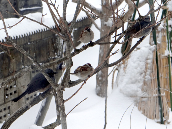 春間近、ツグミ、ヒヨドリ、ムクドリと雀の煙突風呂など♪_a0136293_17234536.jpg