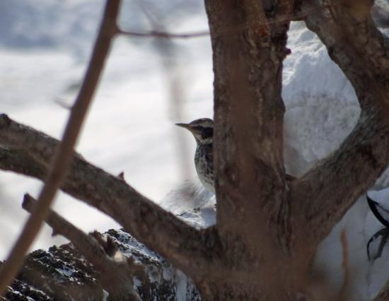 春間近、ツグミ、ヒヨドリ、ムクドリと雀の煙突風呂など♪_a0136293_17251730.jpg