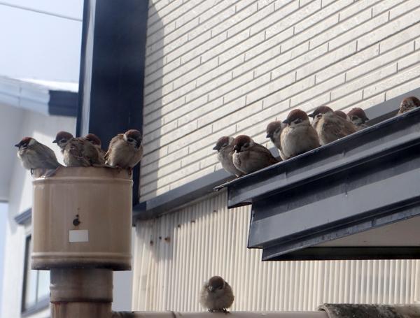 春間近、ツグミ、ヒヨドリ、ムクドリと雀の煙突風呂など♪_a0136293_17281336.jpg