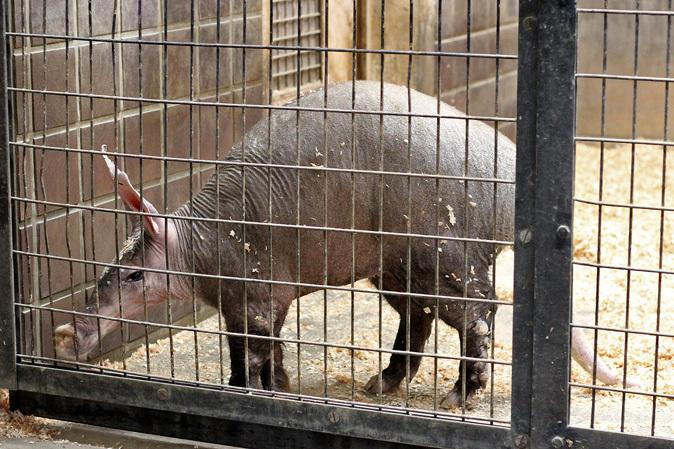 2月の上野動物園~ツチブタ夫妻別居中!?_b0355317_21232139.jpg