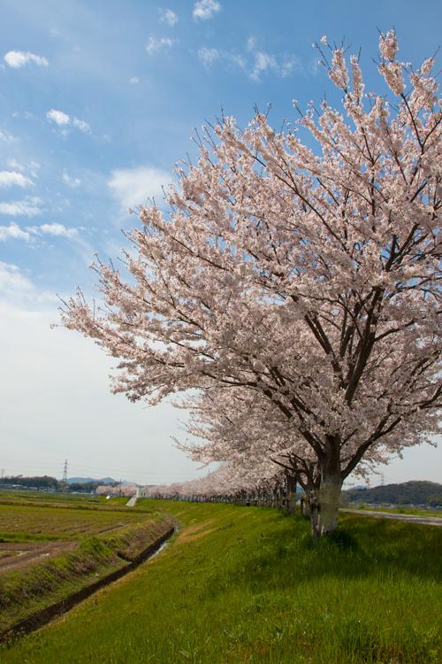 桜と接待上手_d0355333_14574403.jpg