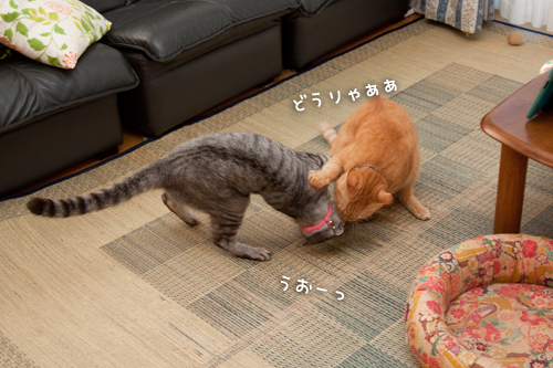 ねこ相撲!はっけよ~い!_d0355333_15014171.jpg