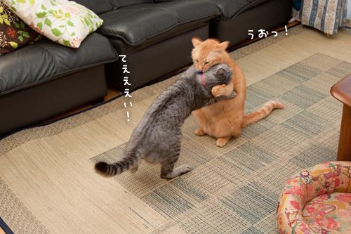 ねこ相撲!はっけよ~い!_d0355333_15014179.jpg