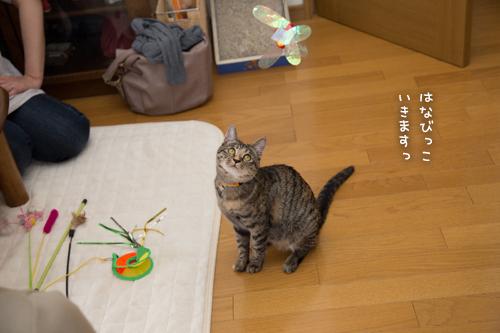 はなびちゃん接待猫への道_d0355333_16375774.jpg