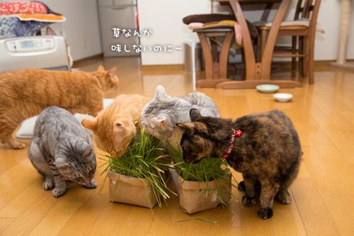 猫草の味は大人の味~_d0355333_16382601.jpg