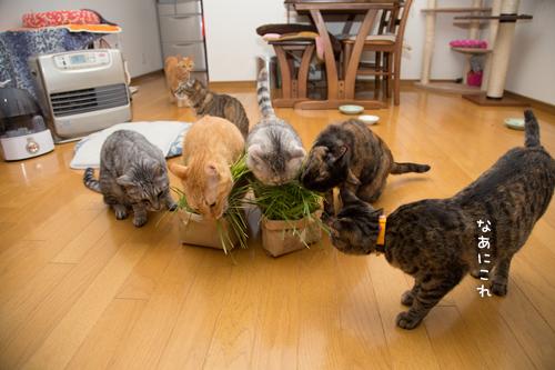 猫草の味は大人の味~_d0355333_16382630.jpg