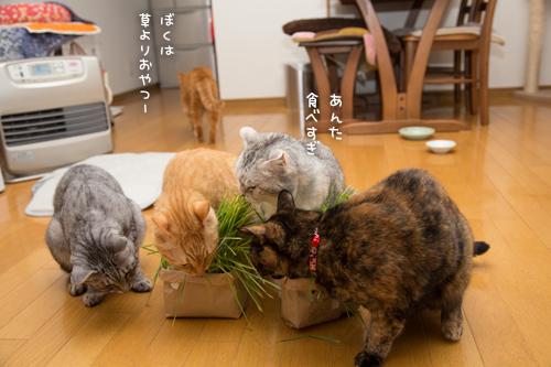 猫草の味は大人の味~_d0355333_16382638.jpg