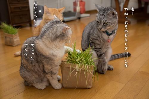 猫草わしわし_d0355333_16394831.jpg