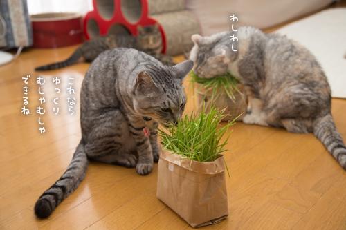 猫草わしわし_d0355333_16394848.jpg