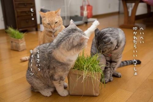 猫草わしわし_d0355333_16394883.jpg