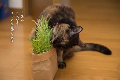 猫草わしわし_d0355333_16394884.jpg