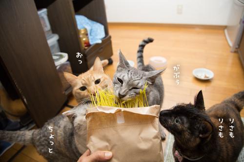 猫草探検隊_d0355333_17254239.jpg