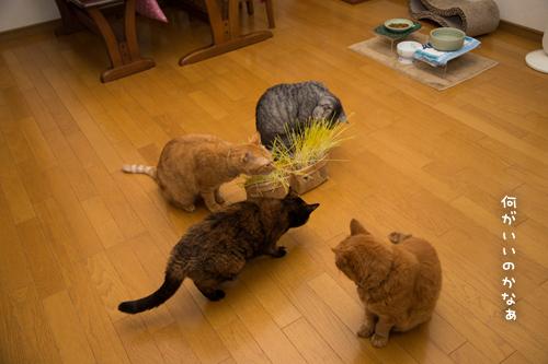 猫草が出来たので_d0355333_17300679.jpg