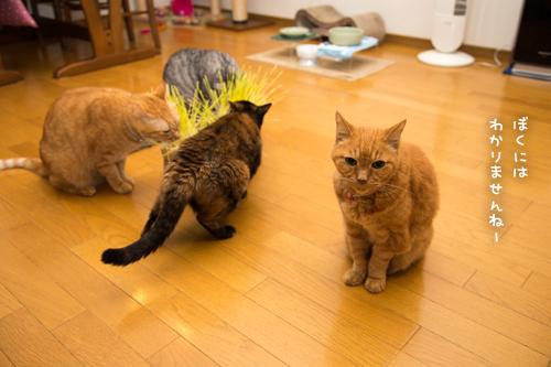 猫草が出来たので_d0355333_17300687.jpg
