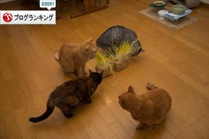 猫草が出来たので_d0355333_17300782.jpg