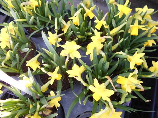 春を待つ花々_a0207196_12501632.jpg