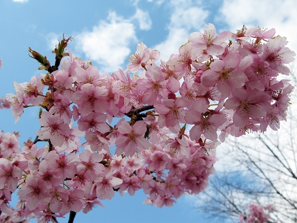 河津桜_f0129726_20422827.jpg