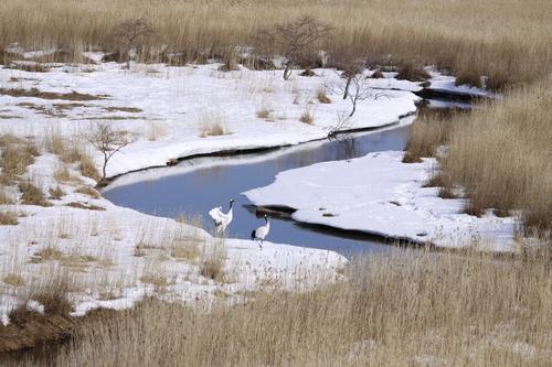 ツルちゃん湿原に帰る 3月16日_f0113639_18335081.jpg