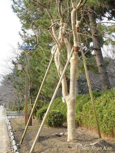 半木の道 枝垂桜の土壌改良_a0164068_23065165.jpg