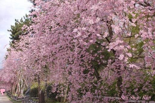 半木の道 枝垂桜の土壌改良_a0164068_23103974.jpg