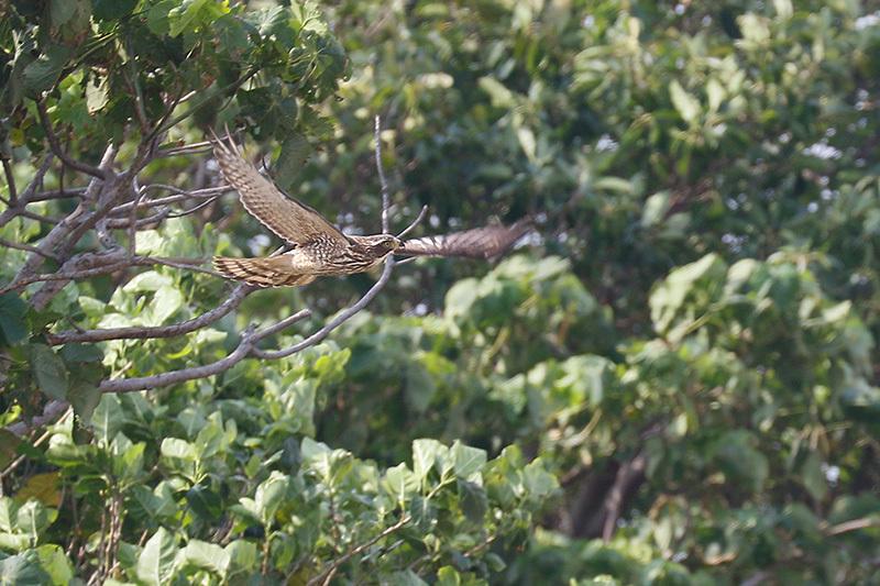 石垣島で野鳥撮影してきました。サシバなどです。_f0368272_22392096.jpg