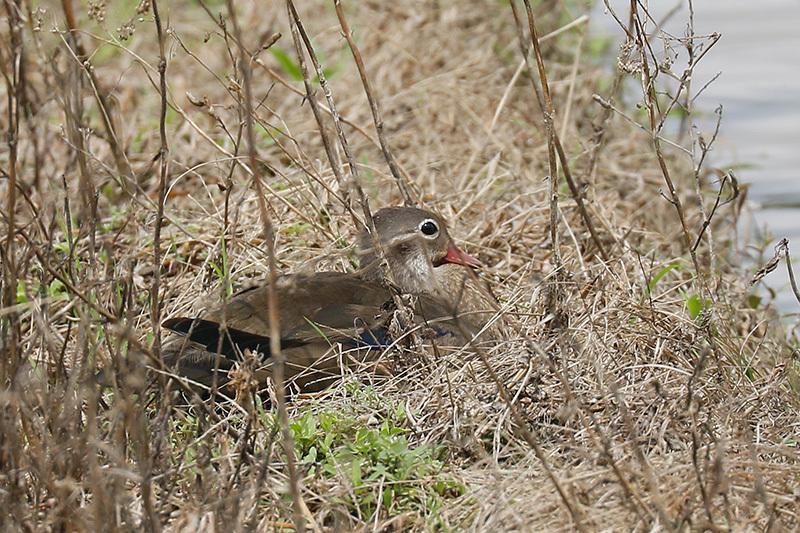 石垣島で野鳥撮影してきました。サシバなどです。_f0368272_22430387.jpg