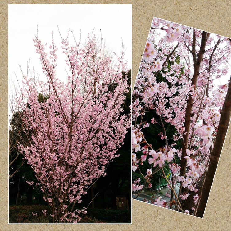 明日は本番☆桜も満開! 嬉しいホワイトデー!_d0224894_22485993.jpg