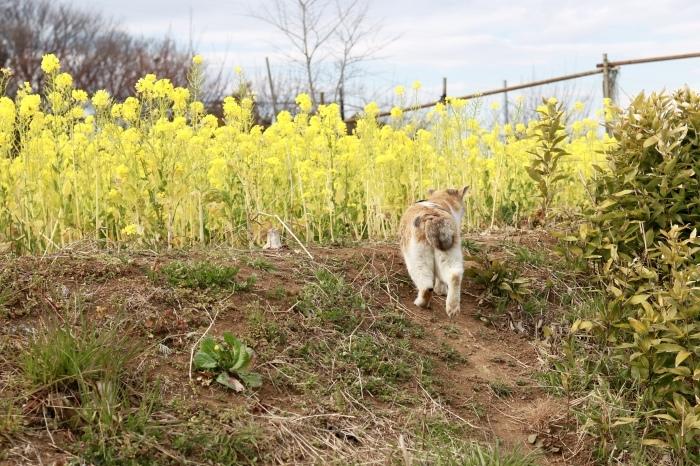 野良猫ちゃんと菜の花。_f0348831_20475489.jpg