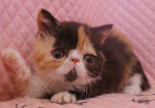 エキゾチックショートヘアー 子猫家族募集 キャリコちゃん_e0033609_11301775.jpg