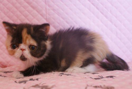エキゾチックショートヘアー 子猫家族募集 キャリコちゃん_e0033609_11303484.jpg