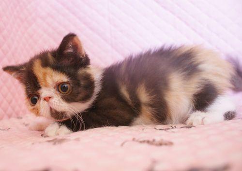 エキゾチックショートヘアー 子猫家族募集 キャリコちゃん_e0033609_11304652.jpg