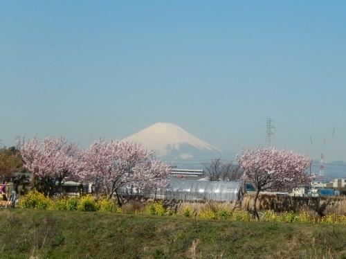 また.また..桜が富士山と共演です。_b0137932_17043256.jpg