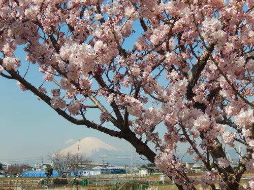 また.また..桜が富士山と共演です。_b0137932_17053674.jpg