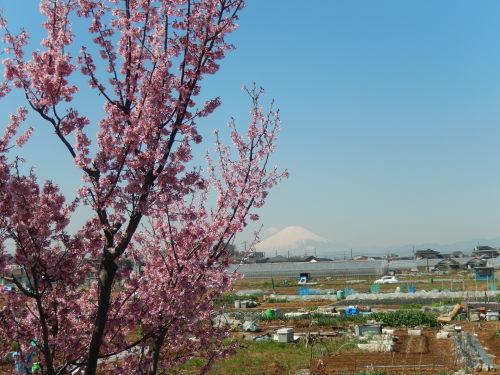 また.また..桜が富士山と共演です。_b0137932_17090397.jpg