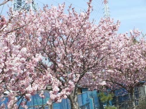 また.また..桜が富士山と共演です。_b0137932_17115357.jpg