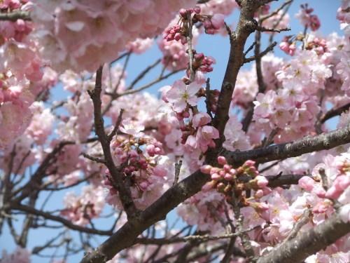 また.また..桜が富士山と共演です。_b0137932_17124153.jpg
