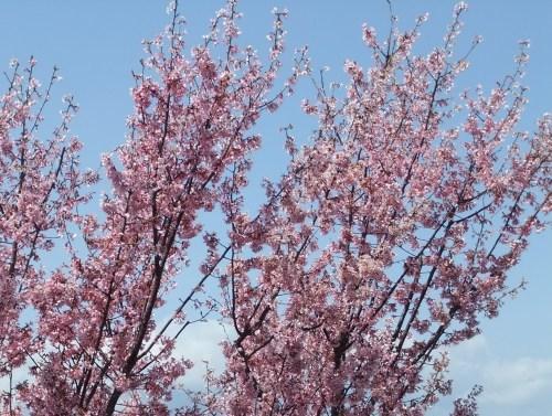また.また..桜が富士山と共演です。_b0137932_17155289.jpg