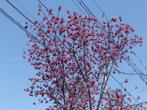 また.また..桜が富士山と共演です。_b0137932_17174241.jpg