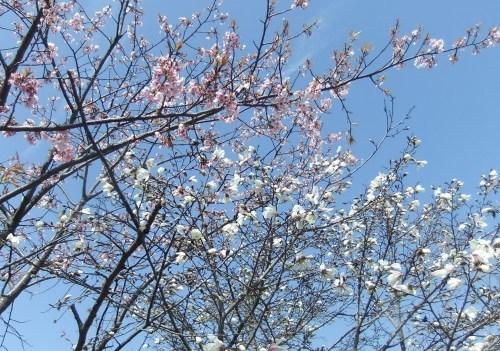 また.また..桜が富士山と共演です。_b0137932_17181033.jpg