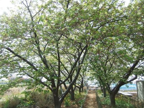 また.また..桜が富士山と共演です。_b0137932_17194307.jpg