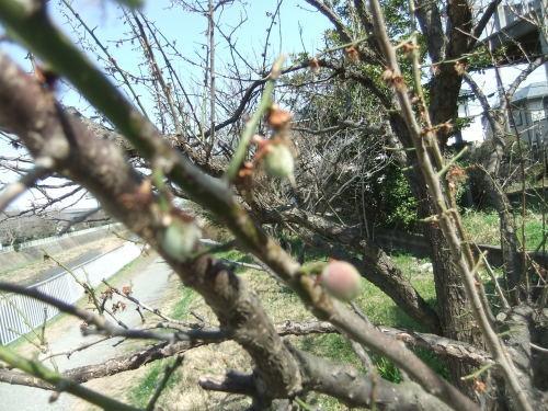 また.また..桜が富士山と共演です。_b0137932_18114469.jpg