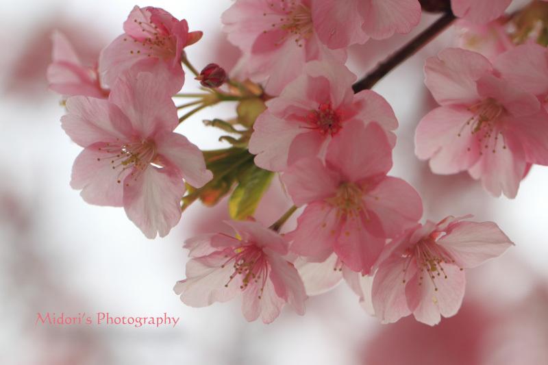 河津桜。_d0342449_23542890.jpg