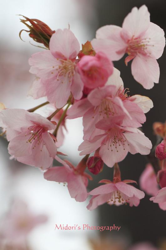 河津桜。_d0342449_23543520.jpg