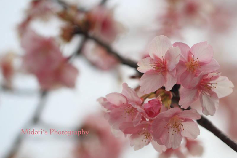 河津桜。_d0342449_23543525.jpg