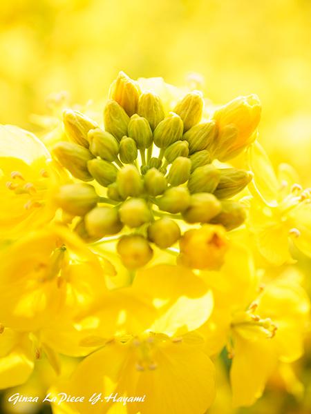花のある風景 咲き始めのナノハナ_b0133053_00285174.jpg