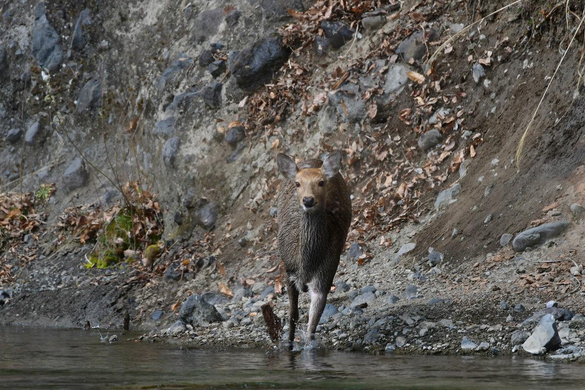 川を渡るシカ_f0053272_22265818.jpg