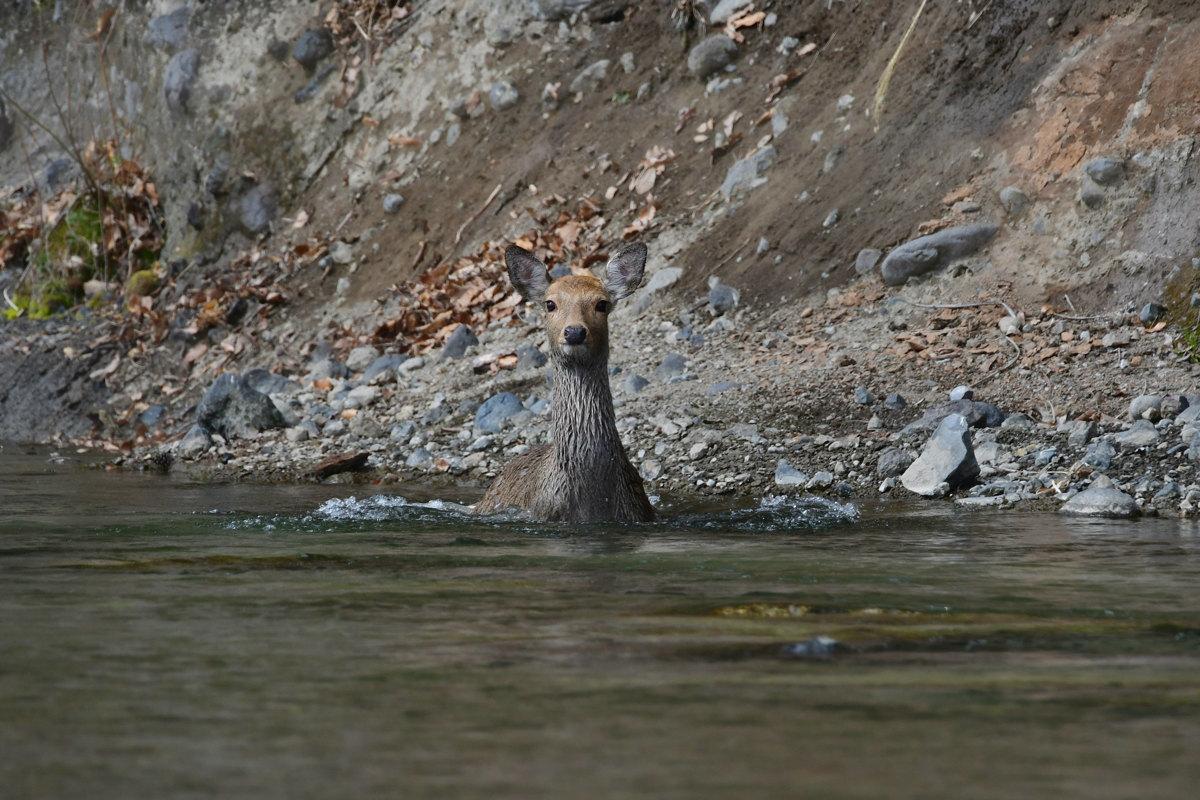 川を渡るシカ_f0053272_22281314.jpg