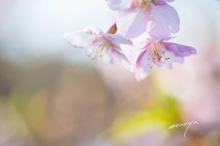 河津桜〜石川県樹木公園_c0085877_6234910.jpg